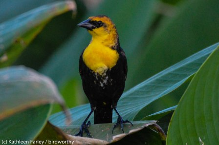 RBA Yellow-headed Blackbird in Florida. Makes up for missing it in the Meadowlands. Photo taken on January 5, 2015 with a Nikon 3200 Sigma 500mm.