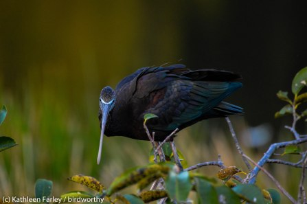 Glossy Ibis balances between preening sessions. Photo taken on January 5, 2015 with a Nikon 3200 Sigma 500mm.