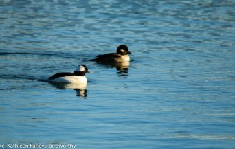 Male and female Buffleheads recorded during Lower Hudson Christmas Bird Count. Liberty State Park, NJ. Photo taken on December 20, 2015.