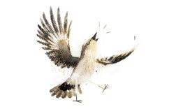 northernmockingbird