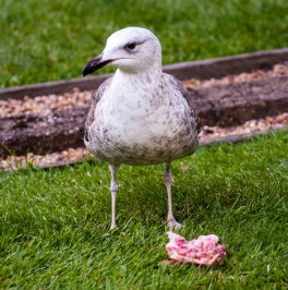 Shy yearling gull want some meat too.