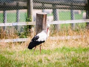 Wild stork parent grooming itself.