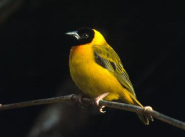 Væverfuglene