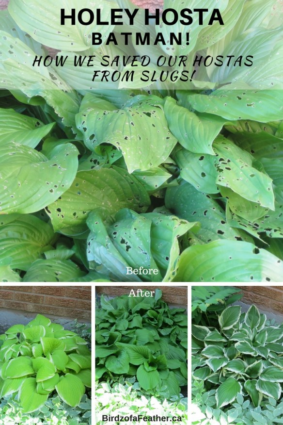 "Want to save your hostas from slugs? Put a stop to slugs once and for all with this easy method. Then you can say, ""Hosta La Vista Slugs""! Birdz of a Feather 