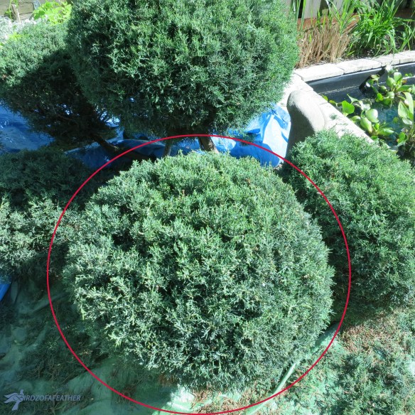When it's time to reshape a pom pom topiary, would you know what to do? We're showing you how to prune and maintain the shape of your ornamental pom poms! Birdz of a Feather   how to prune a pom pom topiary   pom pom topiary diy   pom pom topiary maintenance   prune topiaries   garden pruning   garden pruning tips   gardening   gardening ideas   garden design