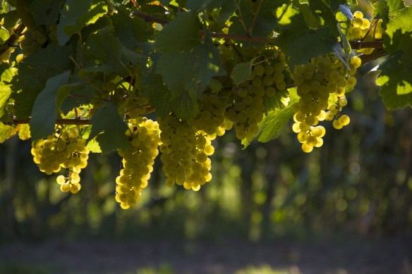 grapes-1758134_1920