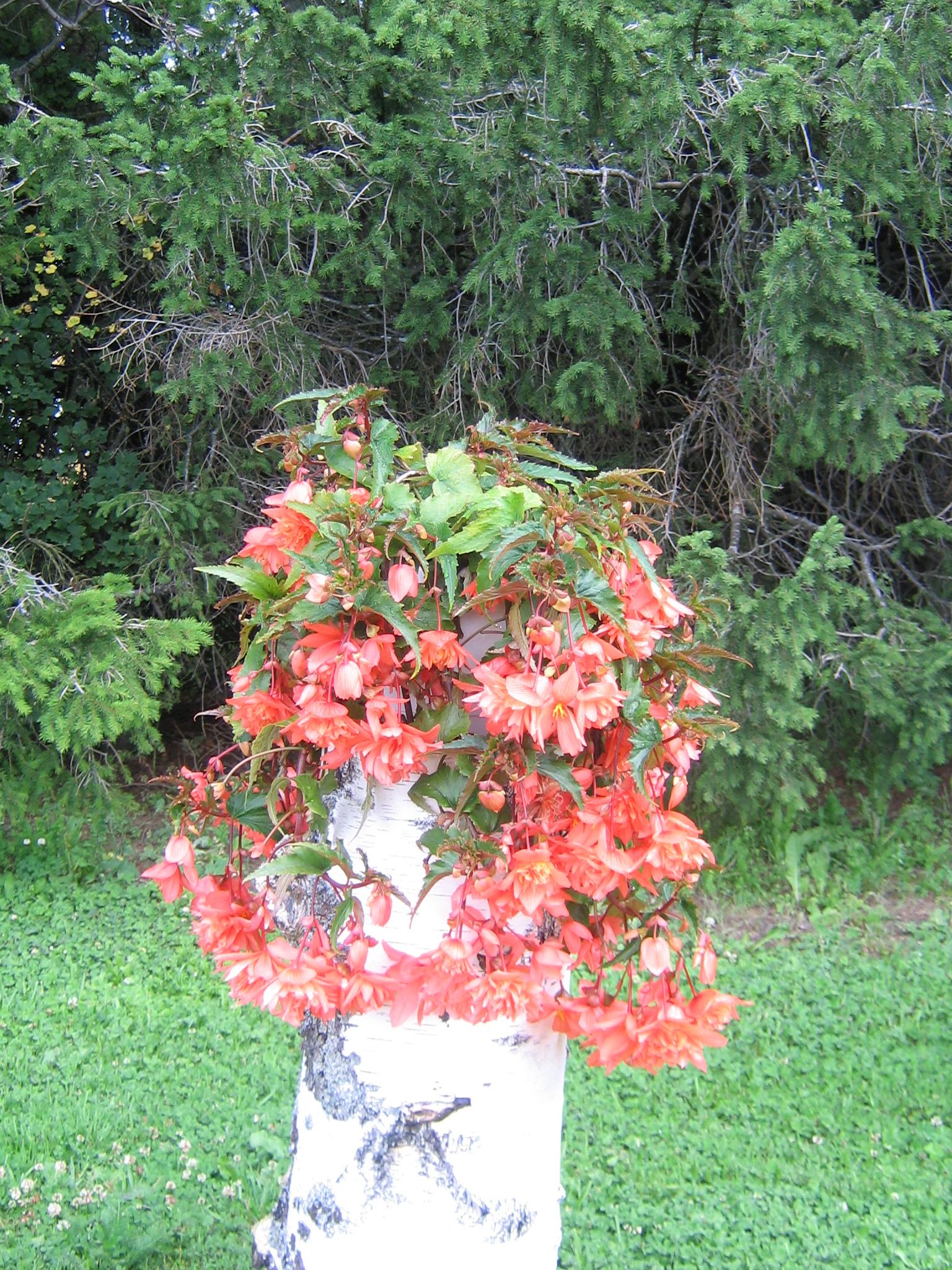 Begonia × tuberhybrida / Gubben och Gumman Hängbegonia hos Reda's Plantor på Rödön