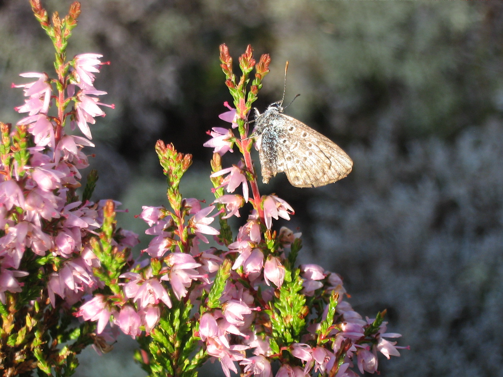 Ljung med fjärilsbesök