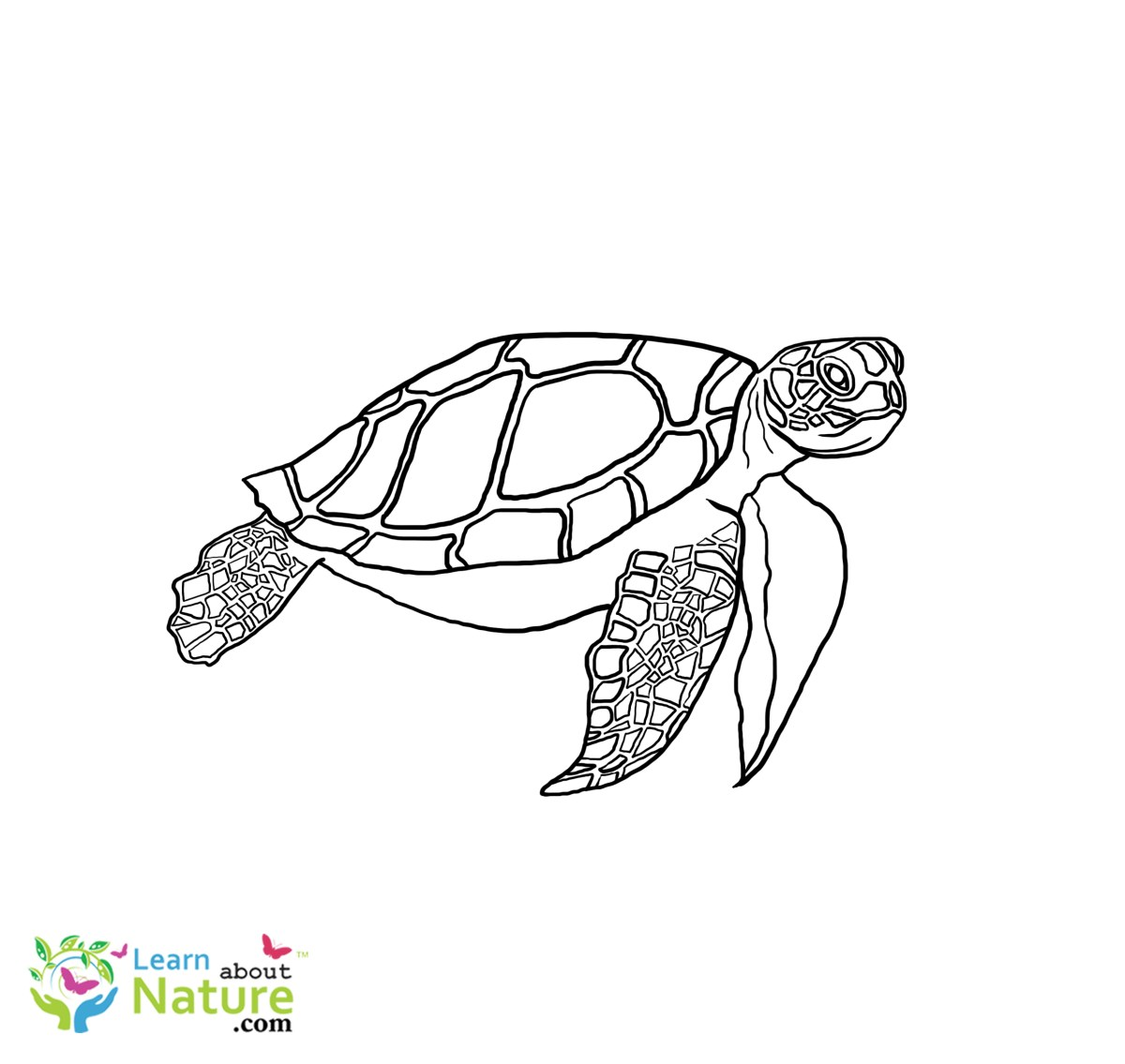 Sea Turtle Coloring Page Sea Turtle Coloring Page 4 Learn About Nature