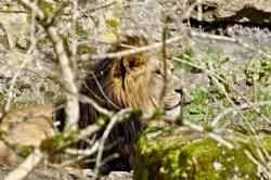 Bild: Löwenmännchen. Fotografiert mit NIKON D90 und AF-S NIKKOR 70-300 mm 1:4,5-5,6G VR (KB äquivalent 105 - 450 mm).