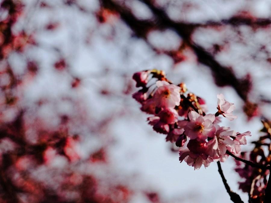 Bild: Blühende Kirschbäume am REWE Markt Kirschweg in Hettstedt. OLYMPUS OM-D E-M5 mit M.ZUIKO DIGITAL ED 12‑40mm 1:2.8. ISO 200 ¦ f/2,8 ¦ 40 mm ¦ 1/4000 s ¦ kein Blitz. Klicken Sie auf das Bild um es zu vergrößern.