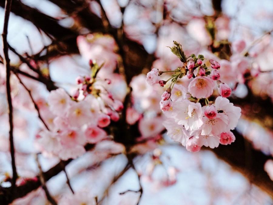 Bild: Blühende Kirschbäume am REWE Markt Kirschweg in Hettstedt. OLYMPUS OM-D E-M5 mit M.ZUIKO DIGITAL ED 12‑40mm 1:2.8. ISO 200 ¦ f/2,8 ¦ 40 mm ¦ 1/1250 s ¦ kein Blitz. Klicken Sie auf das Bild um es zu vergrößern.