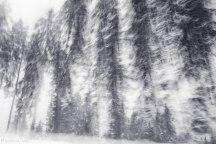 Tannenbäume zuschauend durchrasen