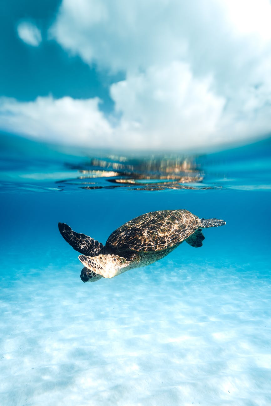 turtle swimming in blue clear sea