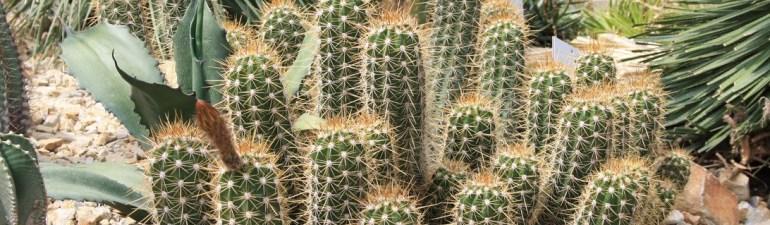 kaktus sebagai penjernih air