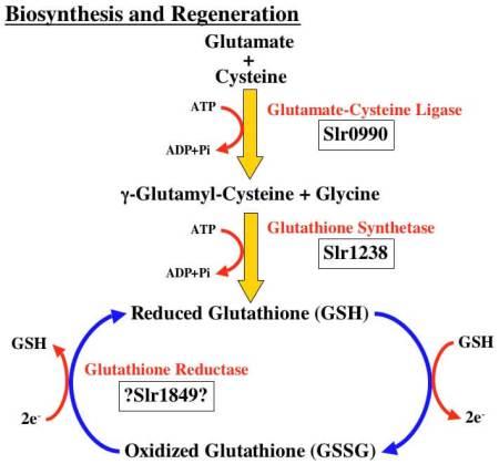 Bagaimana Glutathione dapat memutihkan kulit ?