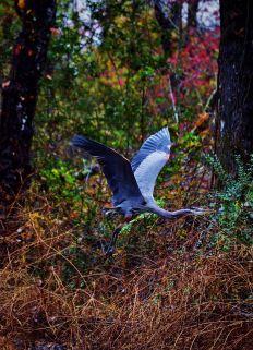 Blue Heron on the run...