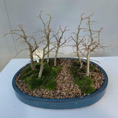 Bonsai Celtis sinensis forest- Chinese hackberry