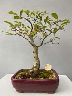 Ficus natalensis - Wild fig bonsai