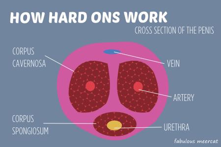 blød penis vs hård penis