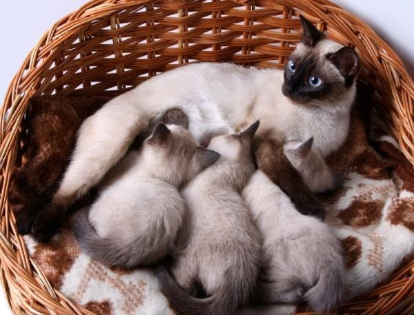 Подробная инструкция как начать разводить кошек. Бизнес на разведении породистых кошек Как начать разводить кошек