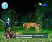 Ratu Macan dan Digo GGS Episode 410