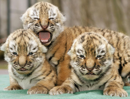 Do we really wish to save the tigers?  (2/2)