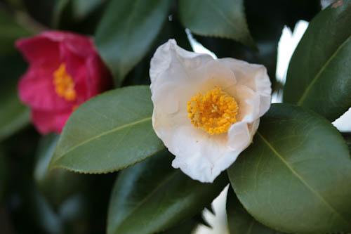 越後の雪椿が咲きました