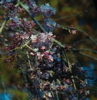 枝垂れ桜の蕾が・・・