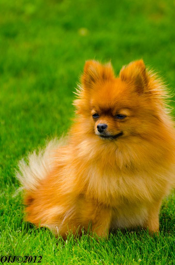 Pomeranian Rescue Organization