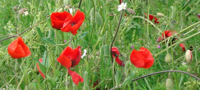 Poppies in Flanders fields, Britain and the First World War