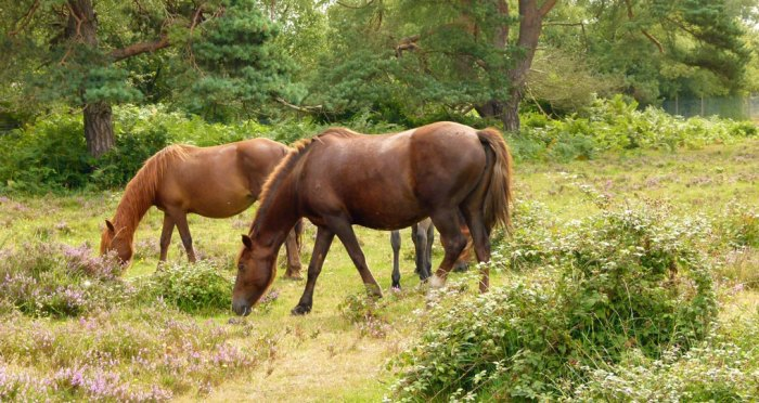 New Forest ponies, Hampshire, South East England