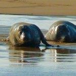Seals, Blakeney Point, Norfolk