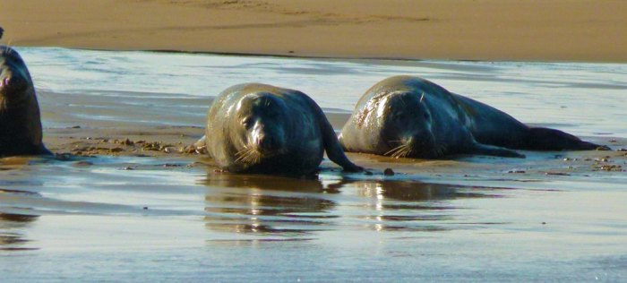 Seals, Blakeney Point, Norfolk
