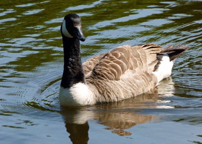 Canada goose, Scotney, Kent