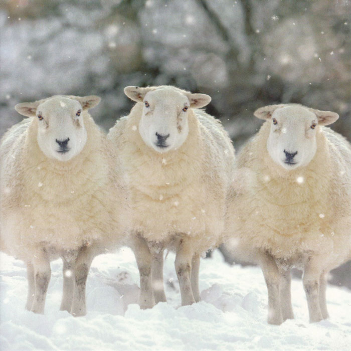 We three sheep, Christmas card.
