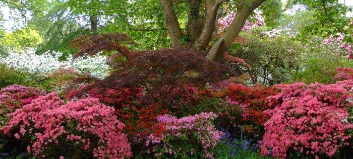 Rhododendrons, azaleas, south-east, England, Exbury Gardens