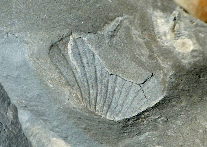 Fossil, cockle, Golden Cap