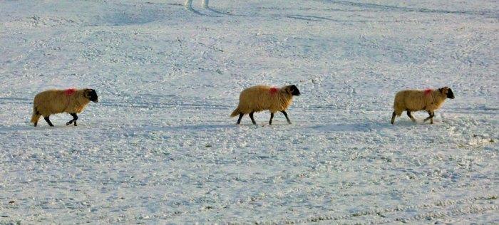 We three sheep, North Yorkshire, Christmas post, 2017