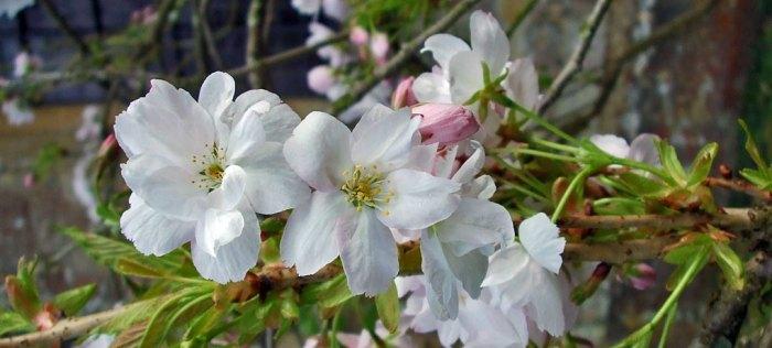Blossom in Bladon churchyard