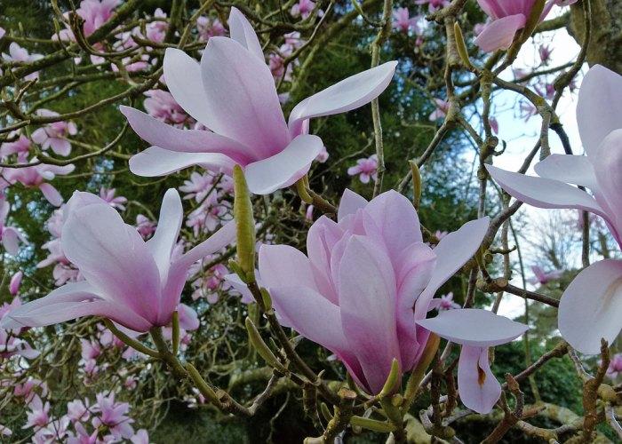 Magnolia, Nymans