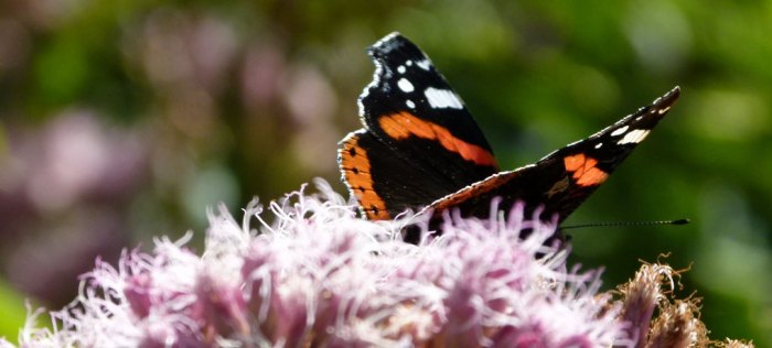Red Admiral, butterfly, Lake District