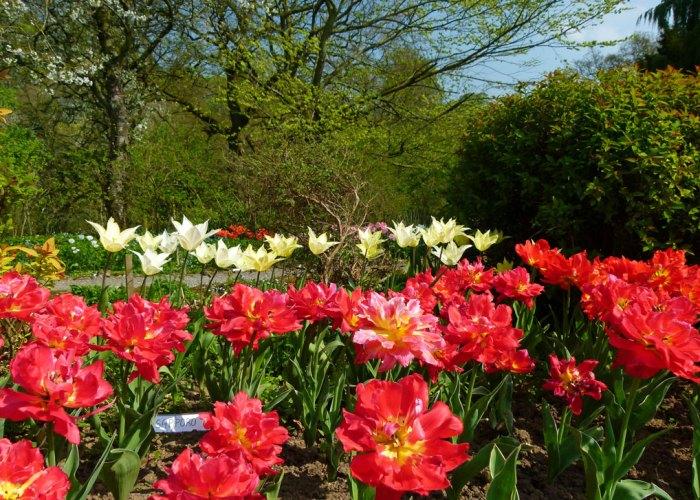 Tulips at Constable Burton