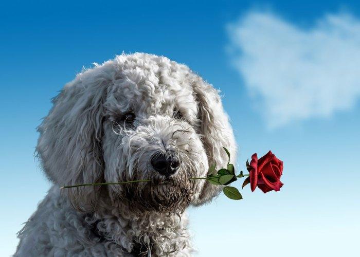Valentine's Day, pets