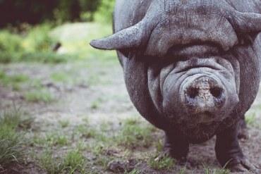 Del cerdo… hasta los andares.
