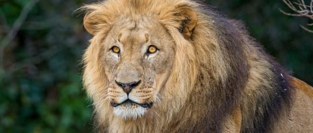 Posing lion dad