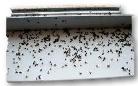 Dozens of gnats died beside a window