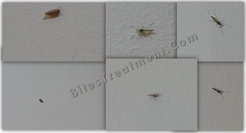 Real Size of Gnats lying on the wall with gnat dirt