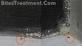 Two Dead Adult Gnat bugs below Window Nets LQ