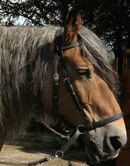 draft size dr cook bitless bridle